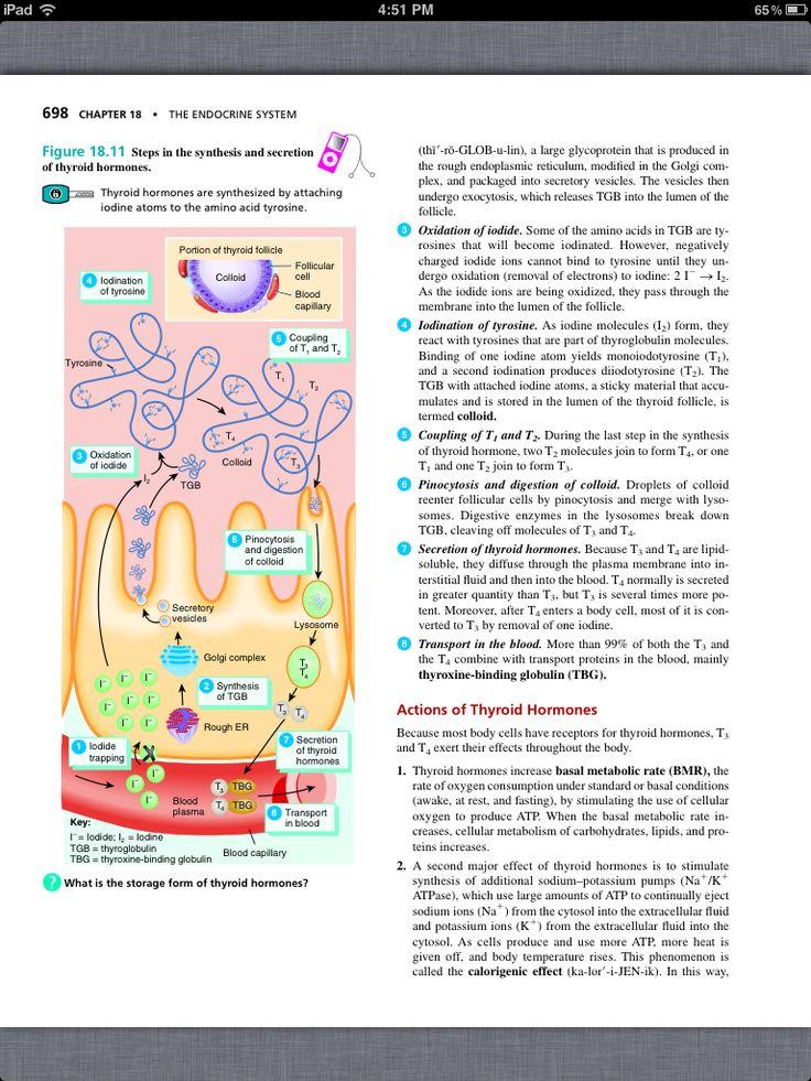 Ziemlich Anatomie Und Physiologie Kapitel 18 Test Fotos ...