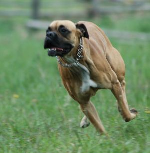 boxer dogs | Where to Get Your American Boxer Dog