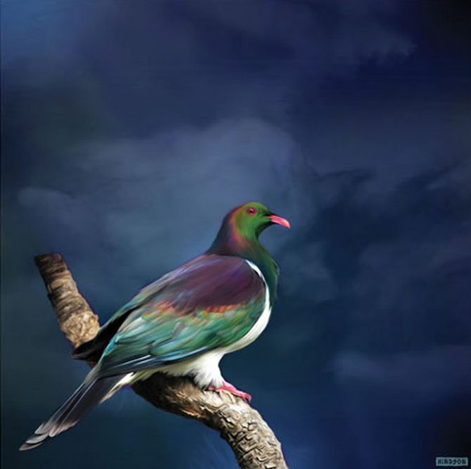 King Kereru - New Zealand Native Wood Pigeon. By Julian Hindson. imagevault.co.nz