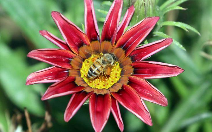 Un'ape raccoglie il polline da un fiore a Baghdad, in Iraq. (ALI AL-SAADI/AFP/Getty Images)