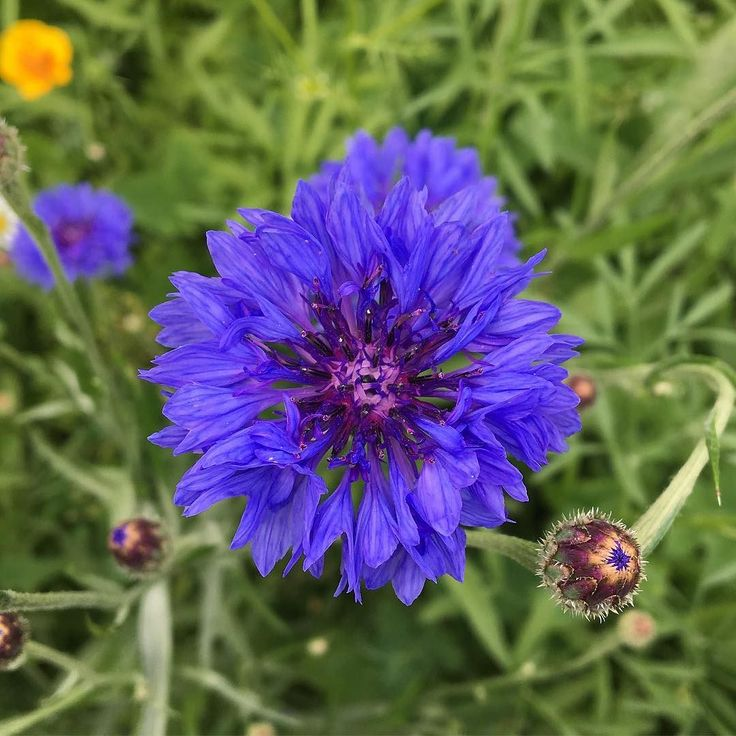 Did you know that a cornflower is also know as a bachelor's button? #hampshirehour #houghtonlodgegardens #hampshiregardens