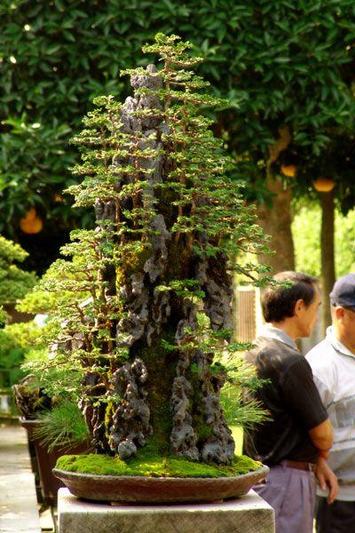 Saikei: (What a Gorgeous Bonsai Forest.) Elk boompje apart is een bonsai. Het geheel vormt duidelijk een landschap op een rots. De rots zelf is waarschijnlijk een stuk verweerd en bewerkt hout, of kunststof. Anders zou het transport enorme moeilijkheden met zich meebrengen.