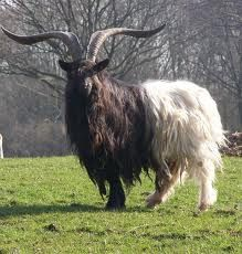 The Valais Blackneck goat breed from southern Switzerland ~ a magnificent buck! ~ May all animals be treated with respect, kindness and compassion ~ Live, rejoice and prosper VEGAN