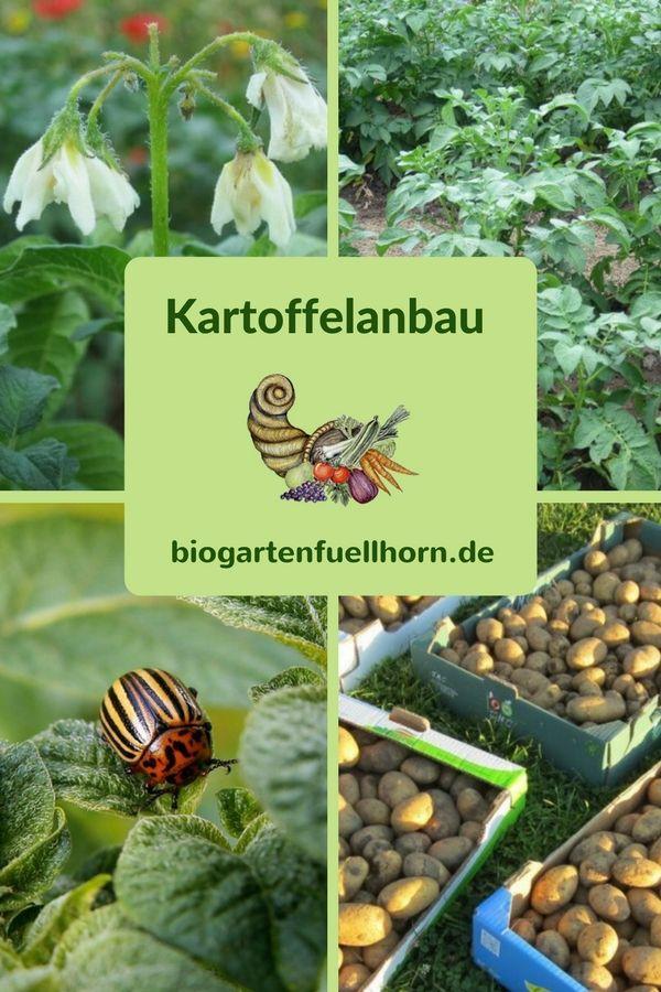 Kartoffeln im Garten pflanzen - wann und wie vortreiben. #Garten #Gemüsegarten