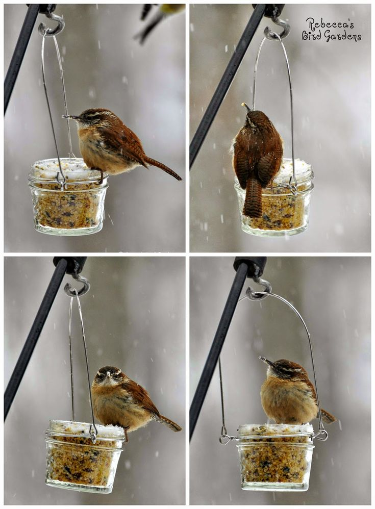 Rebecca's Bird Gardens Blog: DIY Mason - or Jelly Jar - Suet Feeder - The Carolina Wren