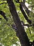 Juglans nigra (Black walnut) | NPIN host of Luna Moth