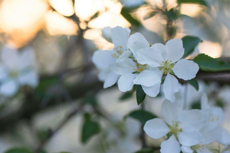 Macro Apple blossom