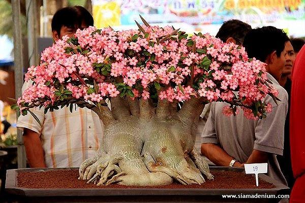 Adenium #Bonsai, by Siam Adenium.: Bonsai Trees, Siam Adenium, Flower Bonsai, Adenium Obesum, Cactus Succulents Bromeliad, Bonsai Adenium, Bonsai Flower, Adenium Bonsai, Beauty Succulents