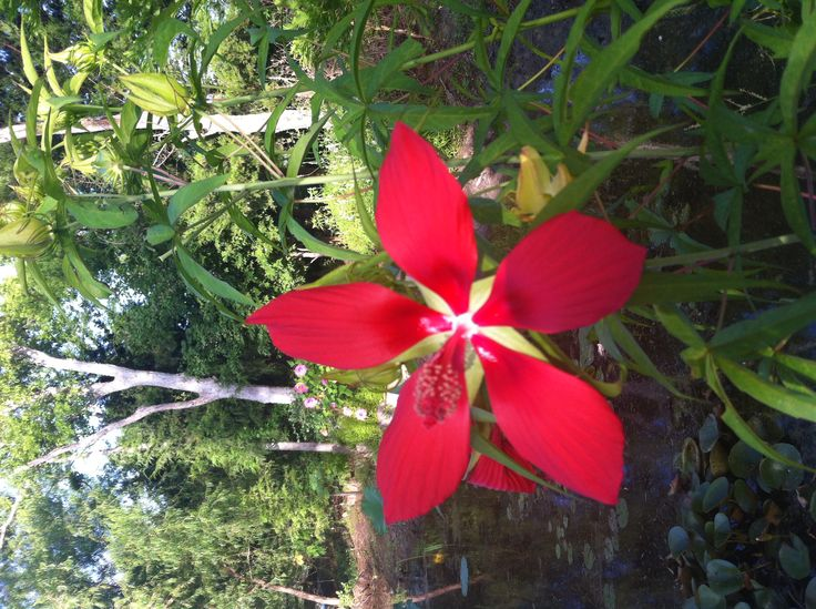 Hardy red hibiscus by pond. Neli Spurrell