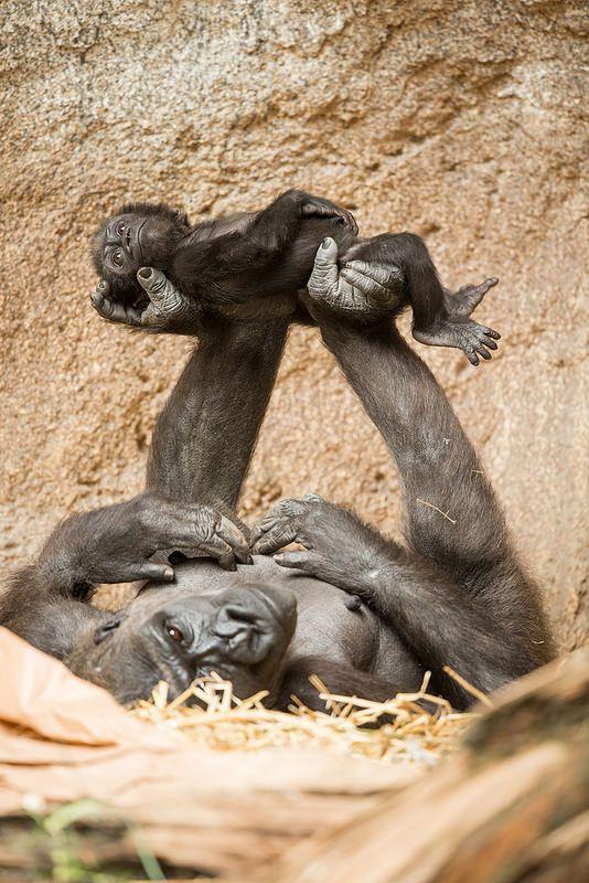 Gorilas...