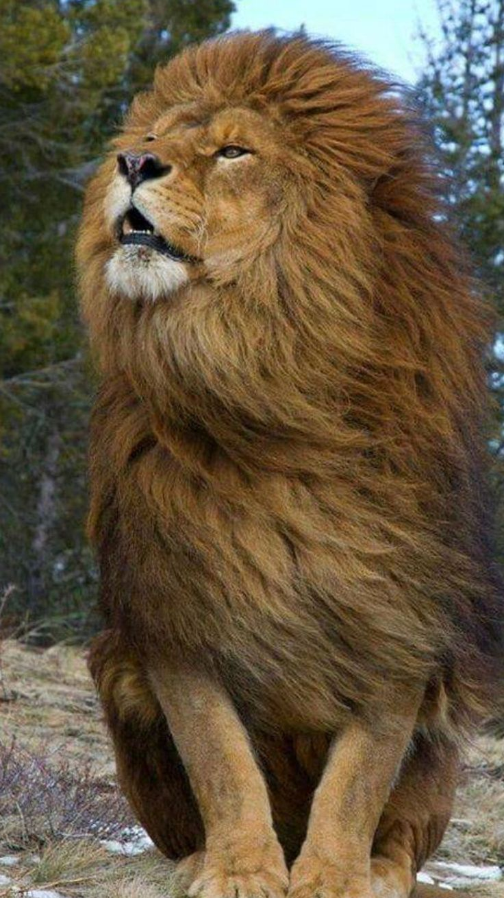 People think a lion is a savage . Yes but also an honorable savage.  Find you a true king. One who don't play like a lion but teaches , has patience , and loves with the heart of a lion 💚