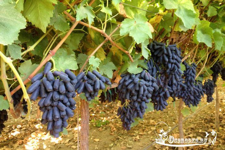 Узнайте, как ухаживать за виноградом в первый год вегетации, какие зеленые операции необходимо сделать летом, как удобрять и поливать виноград, чего нельзя делать во время цветения, а также секрет…