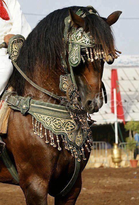 Berber horse ready for Fantasia Feast. Morocco