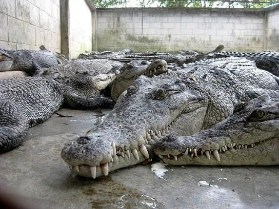 Relaxed Reptiles at the Crocodile Farm and Million Years Stone Park in Pattay, Thailand