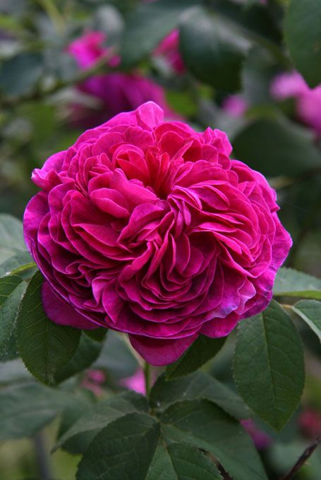 ~'Charles de Mills' Rose ~ Netherlands, before 1790