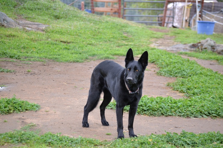 Athena is an indispensable part of Taylor Ridge Ranch. German Shepards are incredible herders and guardians of livestock.Taylors Ridge, Guardian Of Ga'Hool, Incredibles Herder, Ridge Ranch, German Shepard