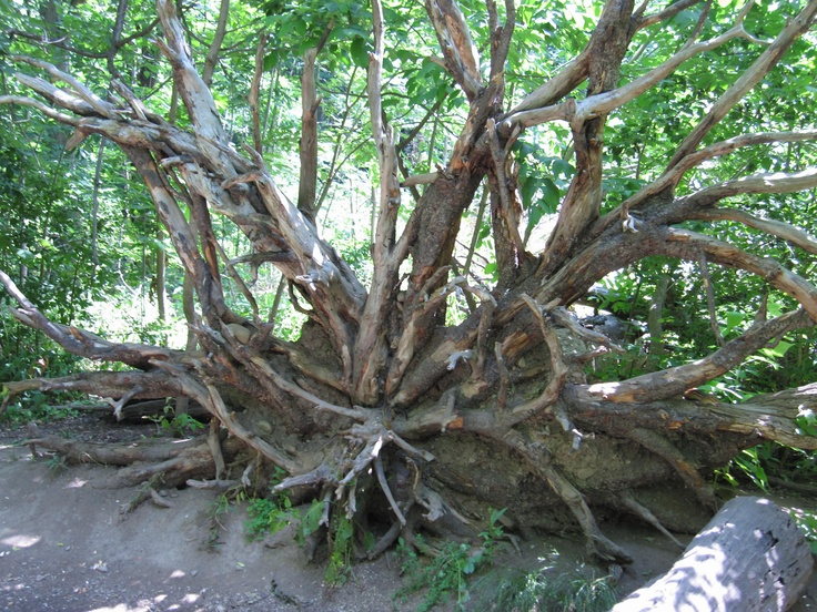 This tree trunk found at the Royal Botanical Gardens is always a show stopper, every passer-by takes a photo wrapping themselves with the roots - intertwining with nature