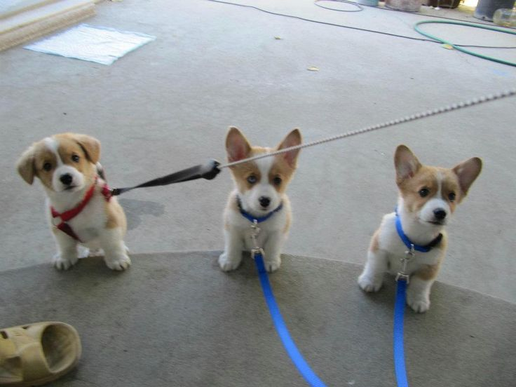 Can't get enough of the corgi puppies