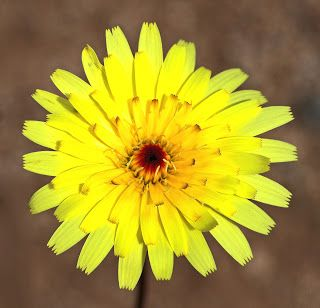 How to Grow Dandelion (and why you might want to)