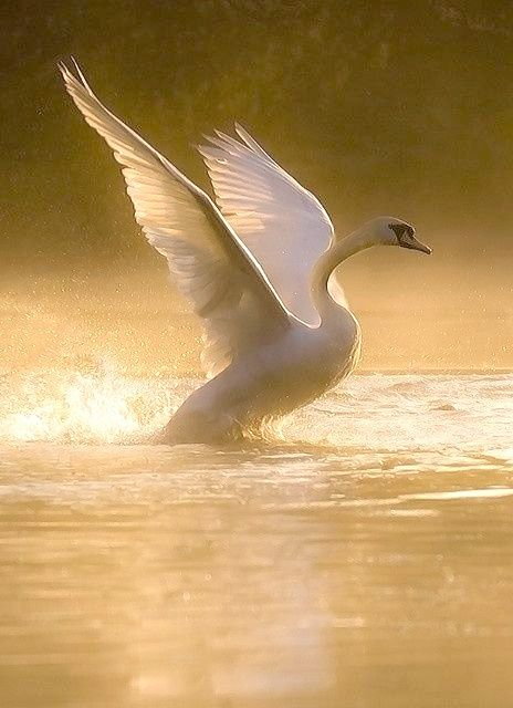 Cisne blanco.