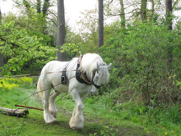 shire horse, huge!