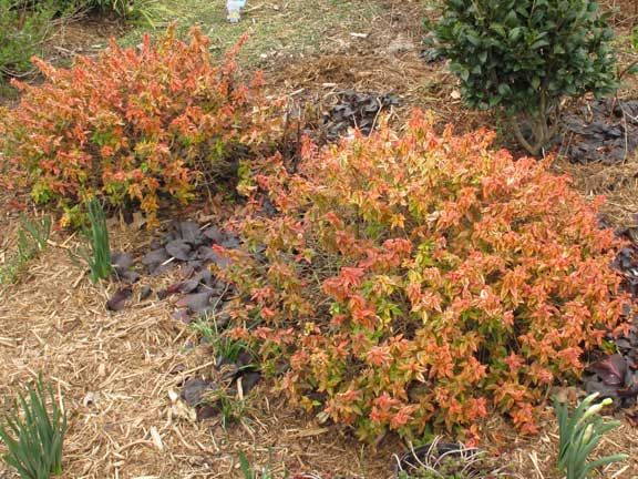 Image result for Abelia × grandiflora 'Kaleidoscope' winter