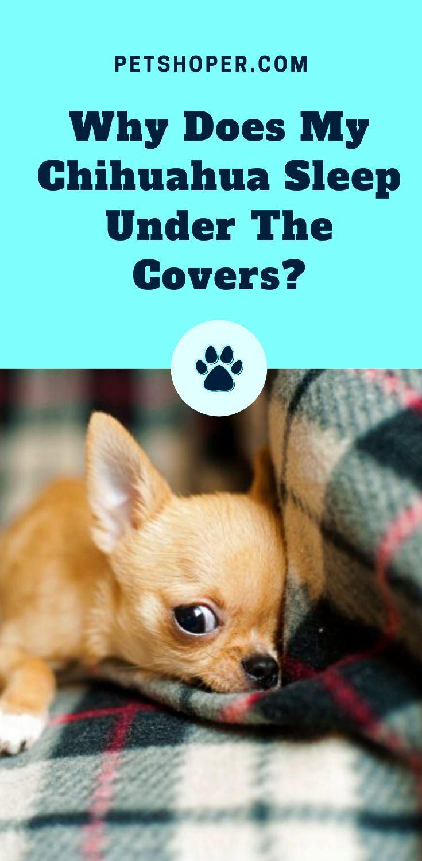 How Long Do Chihuahuas Sleep Sleeping Pattern Petshoper Chihuahua Chihuahua Dogs Dog Care