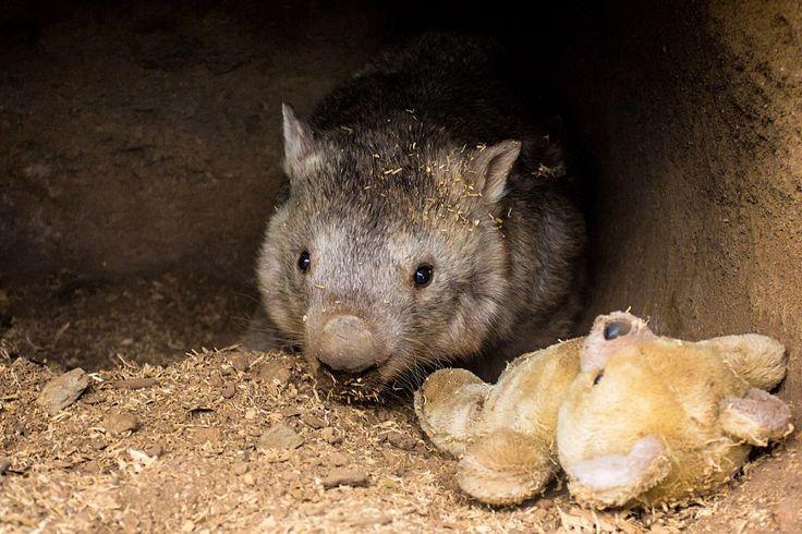 Wombat from Australia)