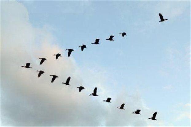 """Επιστημονικά και Τεχνολογικά Νέα: Γιατί το σμήνος των πουλιών πετά σε σχηματισμό """"V""""..."""