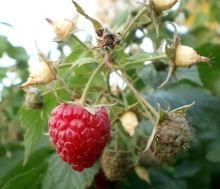 О пересадке малины во все сезоны, советы и ответы