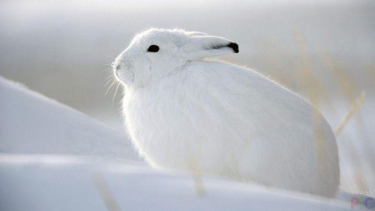 Заяц (24 фото) http://classpic.ru/blog/zayats-24-foto.html   Зайцы очень красивые. У этих животных мягкая и пушистая шерстка, большие уши и очень маленький хвостик. Считается, что зайцы трусливые,...