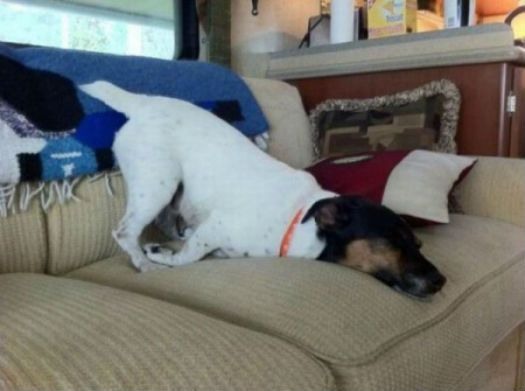 Best DOG TIRED Images On Pinterest - 30 adorable dogs sleeping awkward positions