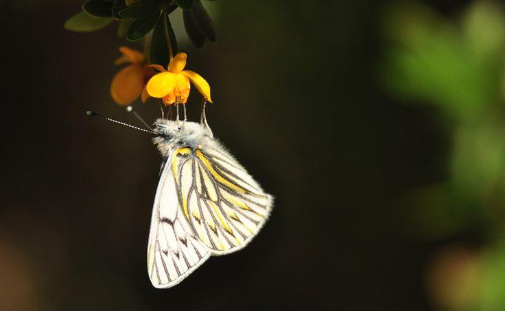Tatochila theodice es una de las pocas especies que habitan la región de Magallanes. En la fotografía, un espécimen en las Torres de Paine. Fotografía: Mateo Barrenegoa.