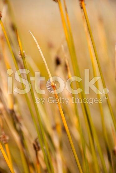 Sedge Background - Ficinia Nodosa or Knobby Club Rush royalty-free stock photo