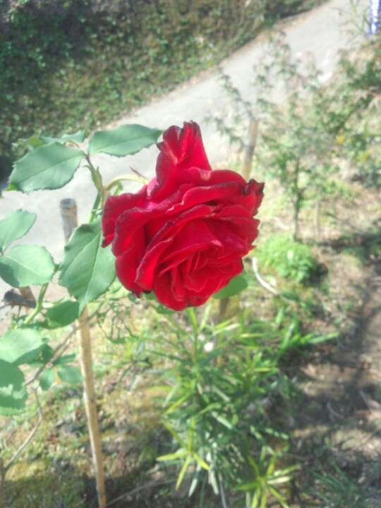 Only one wheel only, a red rose blooming in the field.