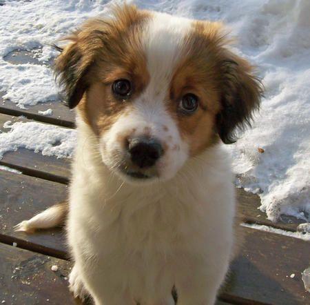 i want him! Saint Bernard/Border Collie Mix