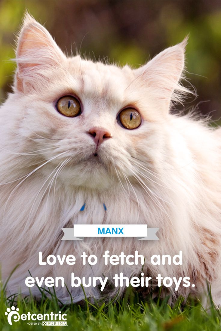 Manx cats can have a dog-like personality and often like to play fetch. Learn more about this magnificent cat breed at Petcentric.com.