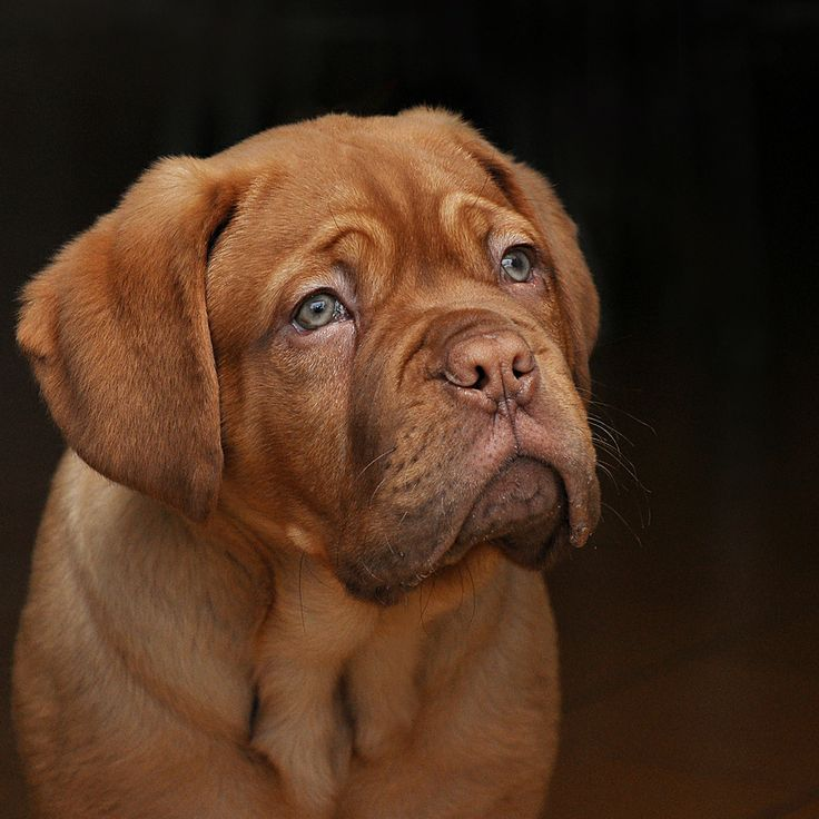 french mastiff. I love these kind of dogs!! My dog for the future!