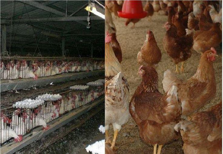 0427 安過ぎるタマゴの値段   いよいよ米国では 平飼いが標準に・・・ 以前から卵は比較的安定している価格で販売されています。 しかし経済的には物価の優等生と言われてきた卵ですが 実際には安く作る為に 相当無理をしてきています。 なぜそうなってしまうかと言うと・・・ 日本では個人の 小規模な鶏卵業者さんが多く 販売先は全国規模のスーパーマーケット・チェーンや大手の食品会社が多く 力を持っている為に鶏卵業者側の価格交渉力が弱かった為です。 つまり値上げしたくても聞き入れてもらえない。