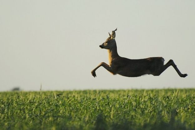A European roe deer caught mid-jump. | 30 Incredible Once In A Lifetime Shots
