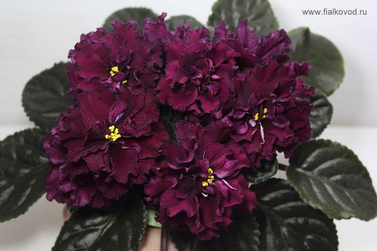 АВ-Крымская черешня Пример цветение - авторское фото селекционера Детка 20.02