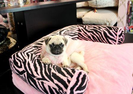 Best 25 Pug Puppies For Sale Ideas On Pinterest Pugs