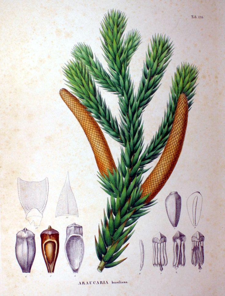 Descrição anatômica de partes da Araucaria angustifolia por Siebold & Zuccarini, em Flora Japonica, 1870