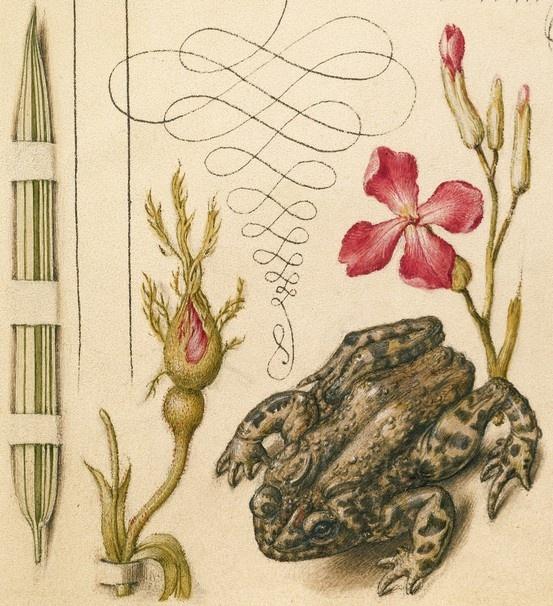 Reed Grass, French Rose, Toad, and Gillyflower (detail), Joris Hoefnagel, Georg Bocskay, 1591-96, script 1561-62