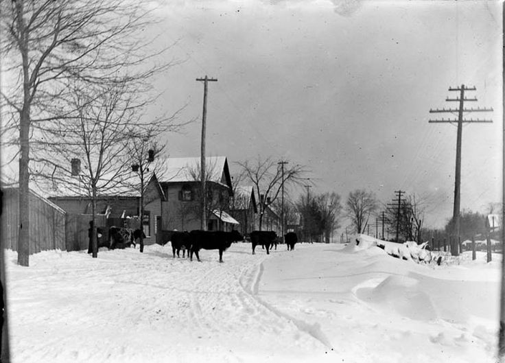 Harvey Street near Main in Ottawa East on December 30, 1903. Although the street was then known as Fifth, those must be Mrs. Harvey's cows in the street! On the right are the tracks of the Canada Atlantic Railway ... now the Queensway. (Photo: James Ballantyne. LAC PA-133671)
