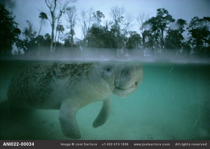 Slow-moving vegetarians, the manatee is a mascot for conservation all over Florida. Unfortunately, it is also hit and killed routinely by speeding power boaters. Though Florida attracts thousands of new residents each month, it is hoped that strict enforcement of no-wake zones in manatee wintering areas will help save this species from extinction.