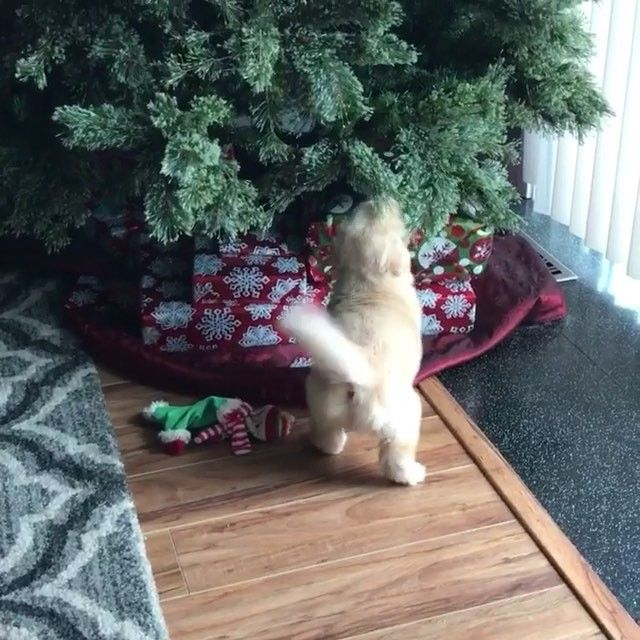 #goodevening #BuenasTardes #oyasuminasai // いいね!40.5千件、コメント585件 ― Golden Retrieversさん(@goldenretrievers)のInstagramアカウント: 「Waggin' around the Christmas tree, let the Christmas spirit ring By @jadeandhergoldens」