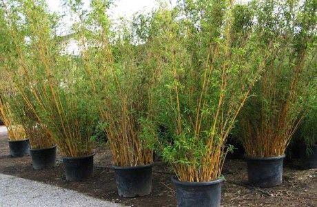 Bamboo Plants for Sale and Non-invasive Clumping Bamboo from Bamboos Wholesale.