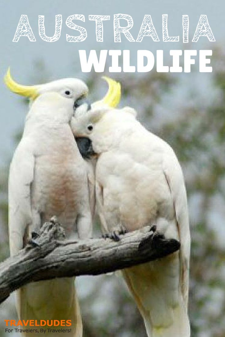 About Aussie Wildlife | Aussie wildlife is different to all other wildlife around the world.  Australia is one of the mega-diverse nations of the world | Travel Dudes Social Travel Community: