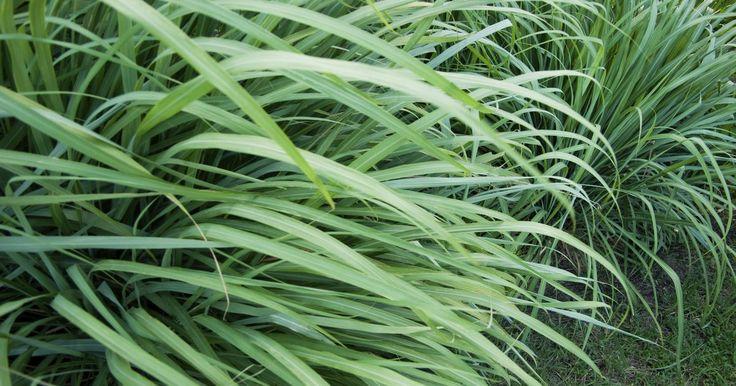 Como as velas de citronela funcionam?. O óleo de citronela é usado para aromatizar as velas de citronela. Ele é feito com a planta de mesmo nome, que cresce em vários países do sudeste da Ásia. Essa grama alta tem um aroma agradável semelhante ao do limão, que mantém alguns insetos voadores longe, incluindo os mosquitos. Quando a planta é prensada e o óleo é extraído, ele possui um ...